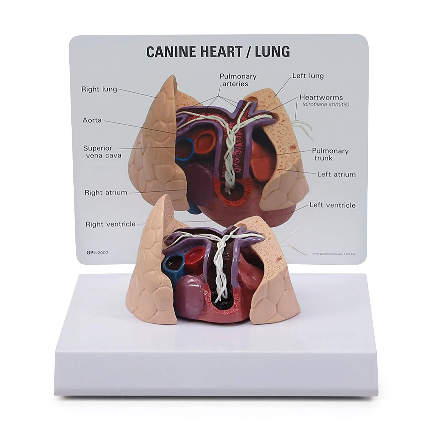 Canine Heart & Lung Model | Animal Body Anatomy Replica of Dog Heart & Lungs w/Heartworms for Veterinary Office Educational Tool | GPI Anatomicals