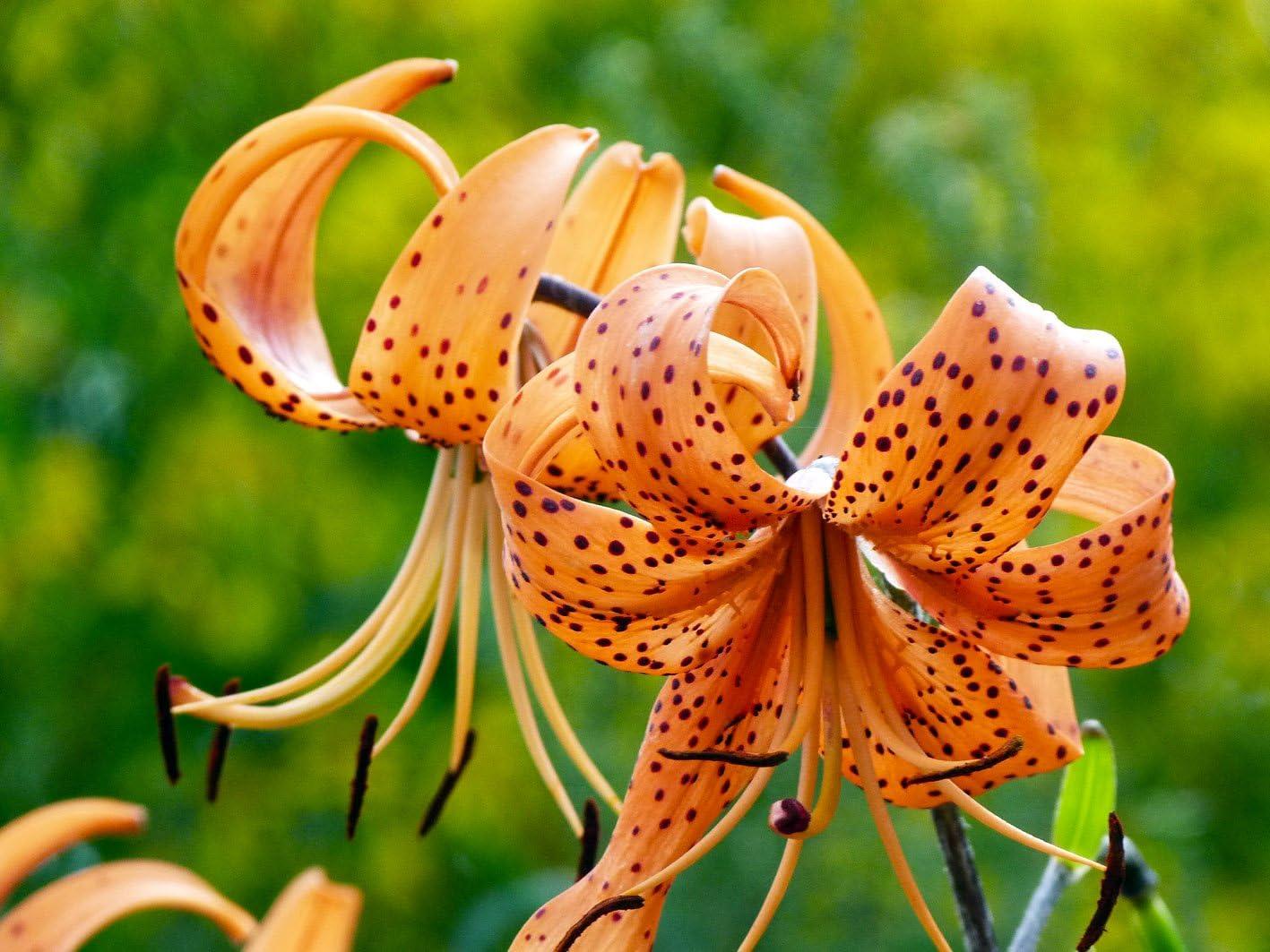 Amazon Com 5 Orange Tiger Lily Bulbs Tigrinium Splendens End