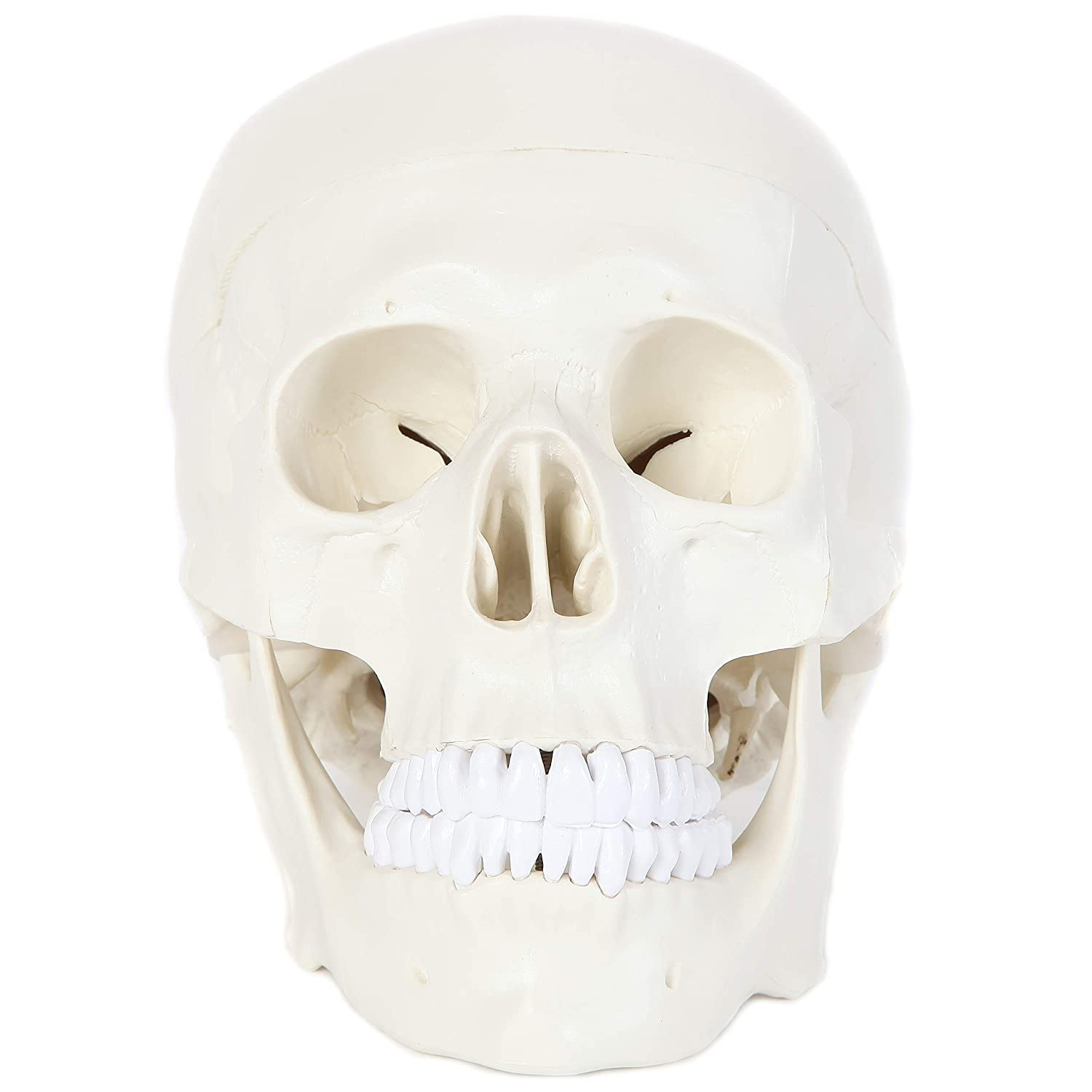 Amazon Anatomy Lab Human Skull Model Life Size Skull Dissects