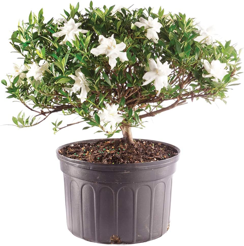 Amazon Com Brussel S Bonsai Live Gardenia Outdoor Bonsai Tree 6 Years Old 10 To 14 Tall With Plastic Grower Pot Large Garden Outdoor