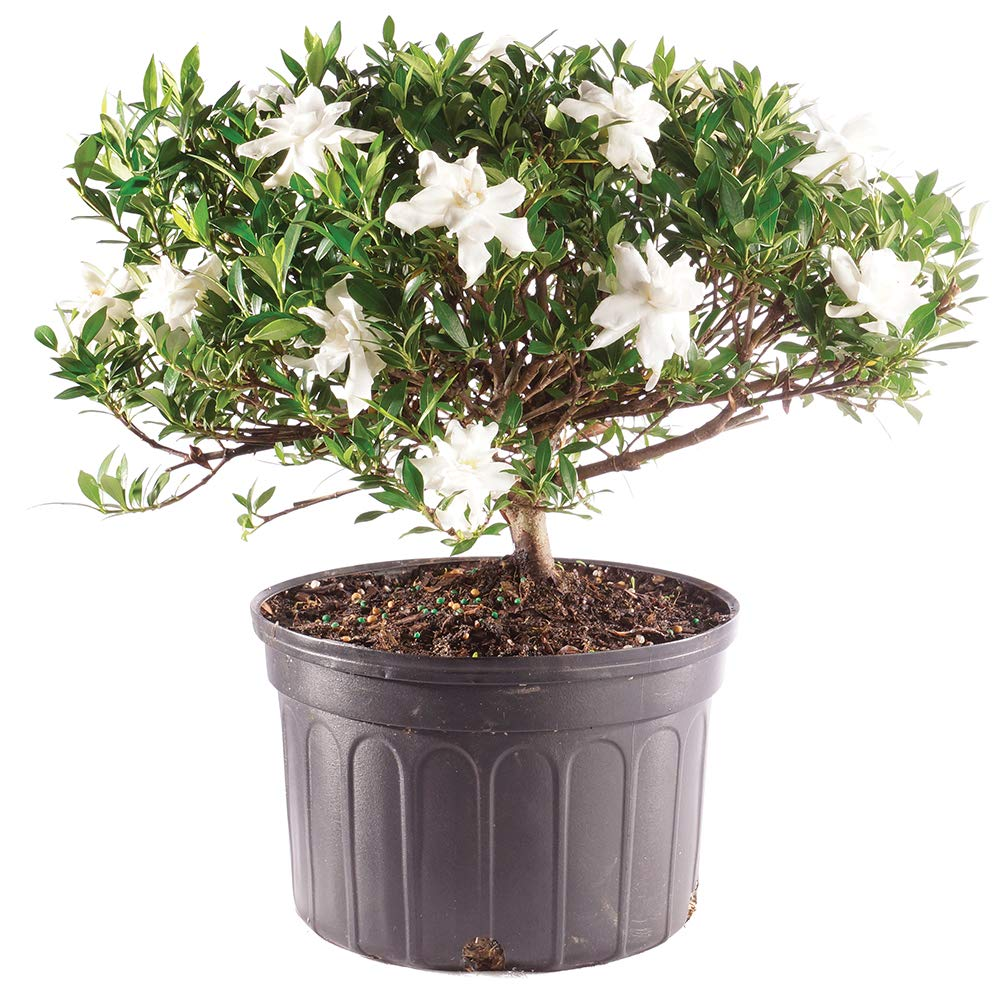 Brussel's Bonsai Live Gardenia Outdoor Bonsai Tree - 6 Years Old 10'' to 14'' Tall with Plastic Grower Pot, Large, by Brussel's Bonsai