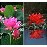 Bee Garden Organic Lotus Flower Seeds 10Pcs - Pink & Red Colors