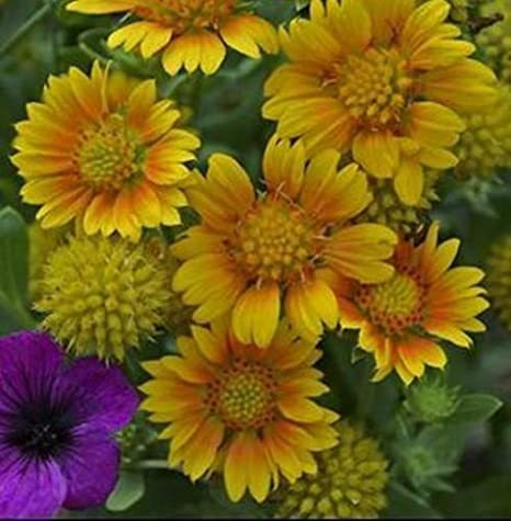 Amazon Gaillardia Arizona Apricot Blanket Flower Perennial