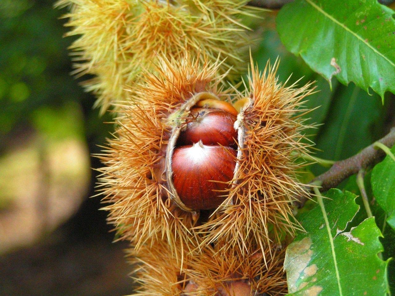 Edible Nuts to Roast 3fatpigs/® Castanea Sativa in a 2L Pot 1 Sweet Chestnut Tree 2-3ft