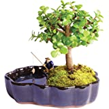 "Brussel's Live Dwarf Jade Indoor Bonsai Tree in Zen Reflections Pot - 3 Years Old; 8"" to 10"" Tall"