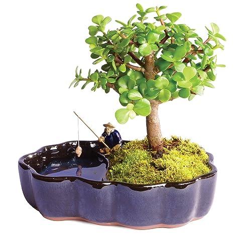 Amazon.com: Brussel\'s Live Dwarf Jade Indoor Bonsai Tree in Zen ...