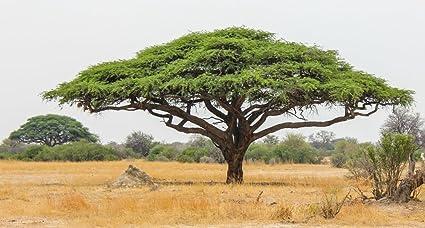 Creative Farmer Gum Arabic Tree Seeds Acacia Senegal Seeds 20