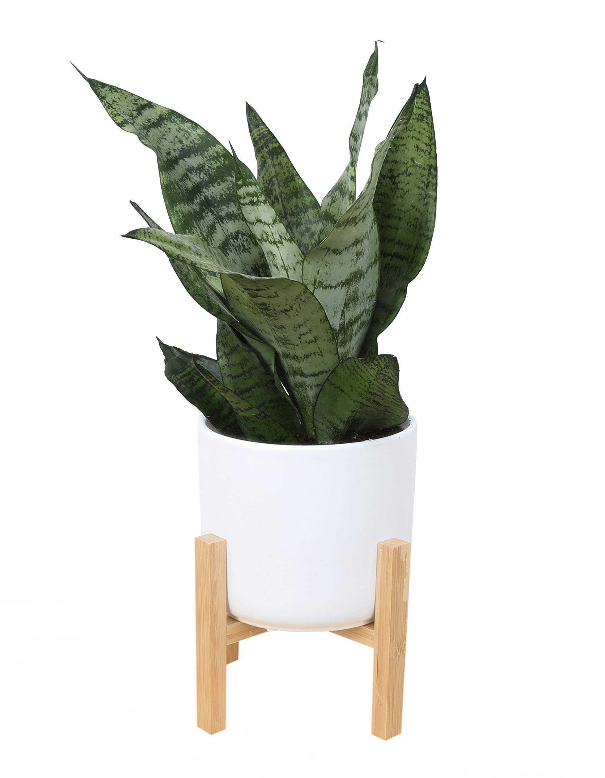 Costa Farms Snake Plant, Sansevieria, with 6.5-inch Wide Mid-Century Modern Planter and Plant Stand Set, White, Fits on Floor/Tabletops
