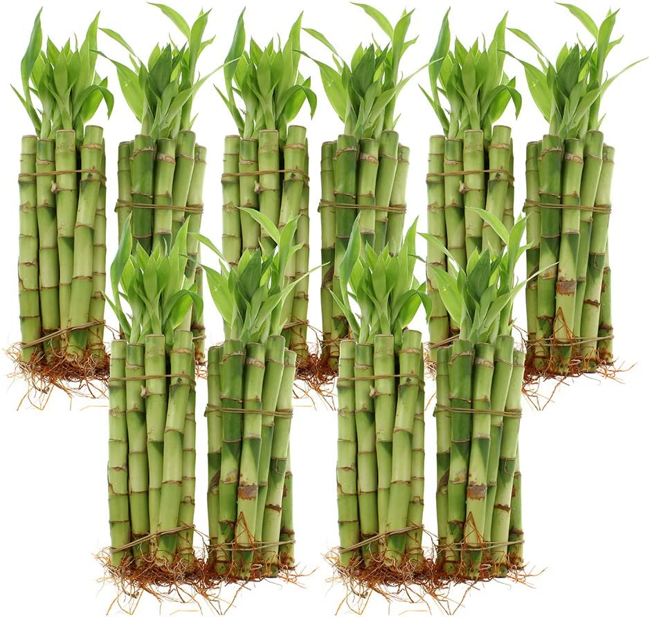 Amazon Com Live Lucky Bamboo Bundle Of 100 Stalks 6 Inch Stalks