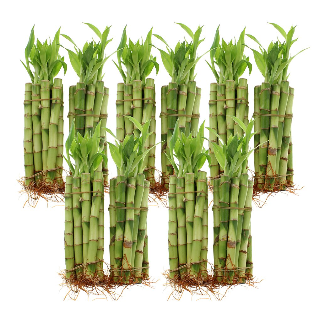 NW Wholesaler - 6'' Straight Lucky Bamboo Bundle of 100 Stalks