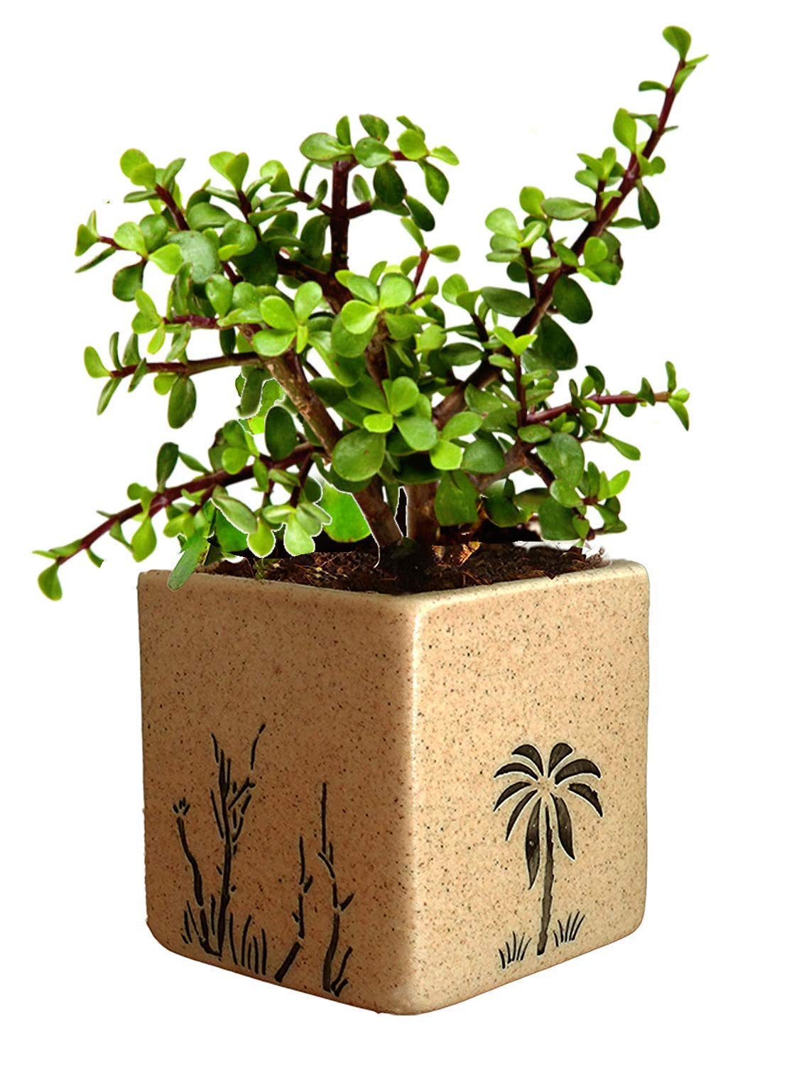 Amazon price history for Abana Homes Beautiful Good Luck Jade Plant with Ceramic Pot