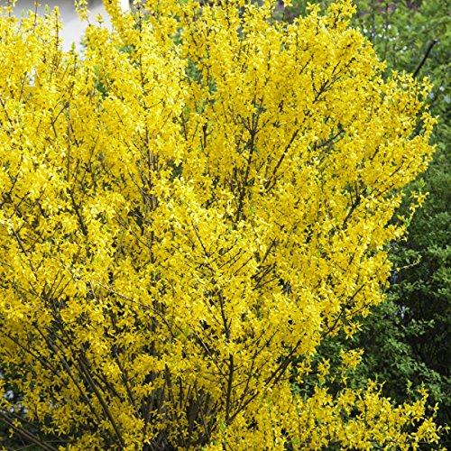 Goldglöckchen (Forsythia) Strauch gelb blühend, 1 Pflanze
