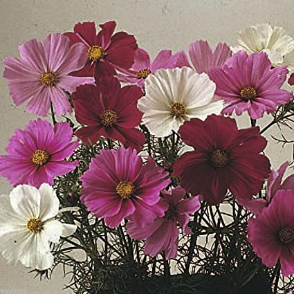 Amazon cosmos flowers seed cosmos dwarf sensation mix 1000 cosmos flowers seed cosmos dwarf sensation mix 1000 seed covers 200 sq mightylinksfo