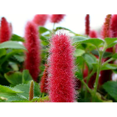 "Chenille Firetail Plant - Cat Tails Plant - Acalypha pendula -Indoors/Out-3"" Pot : Garden & Outdoor"