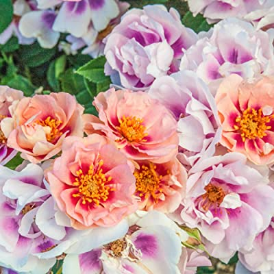 Spring Hill Nurseries - Easy on The Eyes Shrub Rose, Live Bareroot Plant, Pink and Magenta Colored Flowers (1-Pack) : Garden & Outdoor