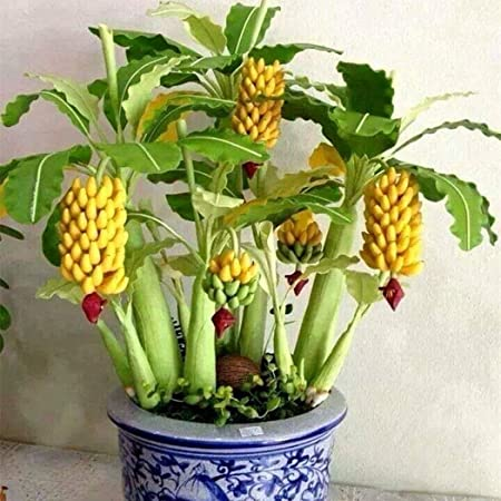 NooElec Seeds India 10 Dwarf Banana Tree-Seeds