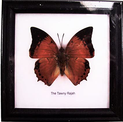 Amazon.com: dsb BTF01G Butterfly Framed the Tawny Rajah Specimen ...