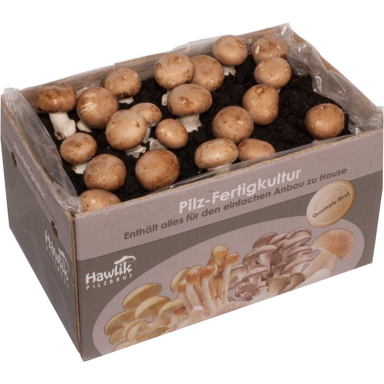 Steinchampignon Pilzkultur - Pilze zum selber züchten - ohne Vorkentnisse Hawlik Pilzbrut GmbH