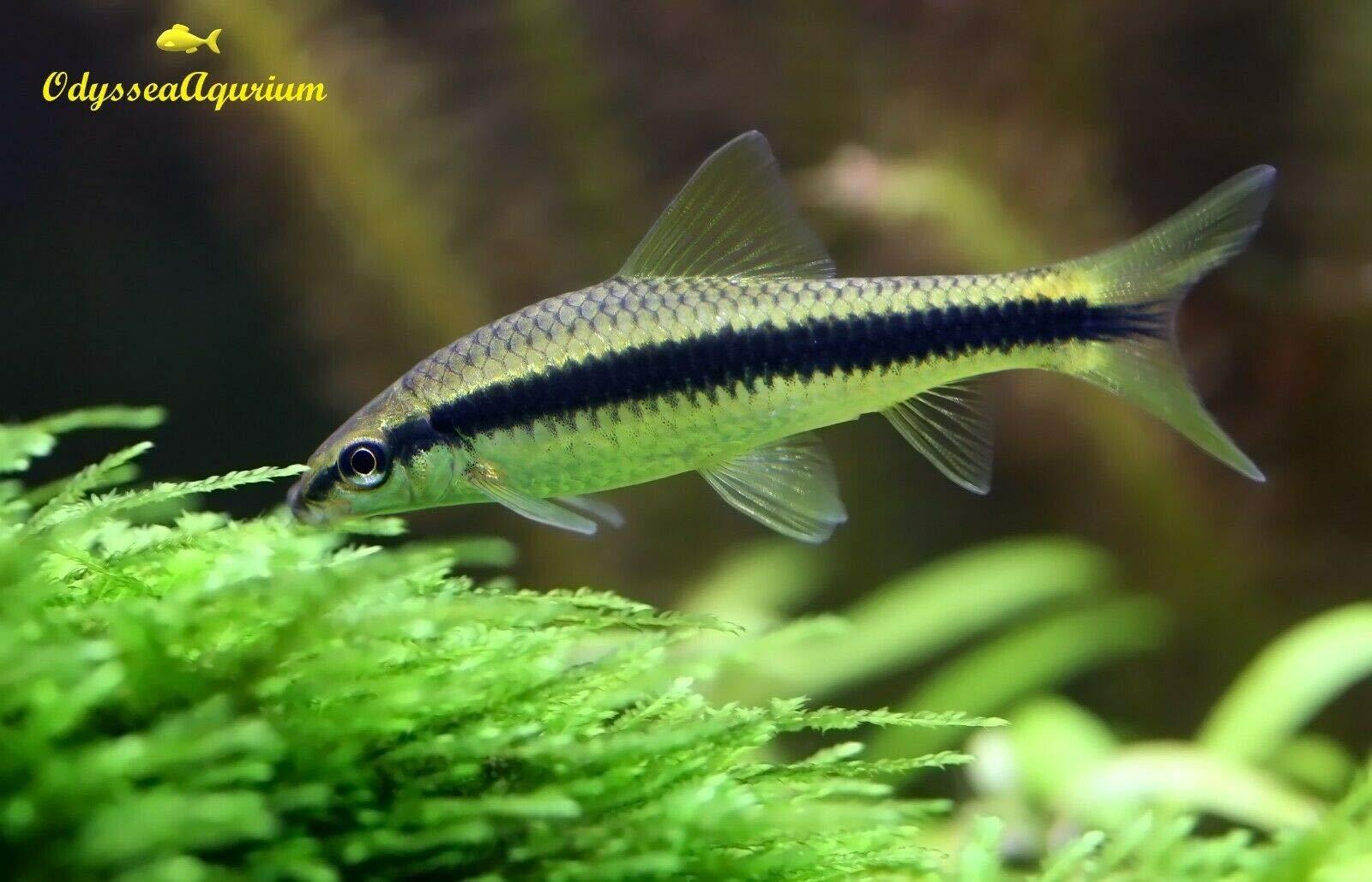 Odysseaaqurium 10 Siamese Algae Eater SAE Golden Algae Eater Freshwater Tropical Aquarium Fish by Odysseaaqurium (Image #1)