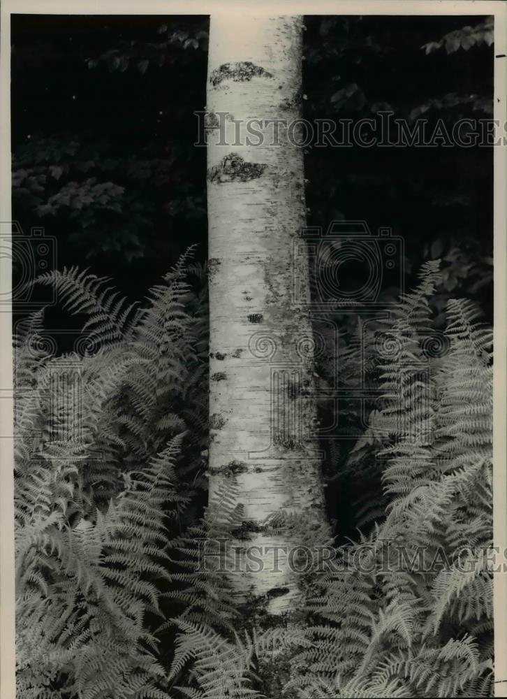 Vintage Photos 1988 Press Photo Trees Birch - Belfast, Maine - cvb14783-11 x 8 in. - Historic Images