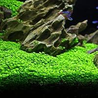 Aquarium Plants Seeds Aquatic Glossostigma Hemianthus Callitrichoides Water Grass Seeds for Fish Tank Rock Lawn Garden Decor -Large Leaf