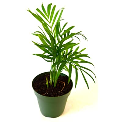"9GreenBox - Victorian Parlor Palm - Chamaedorea - 4"" Pot Live Plant Ornament Decor for Home, Kitchen, Office, Table, Desk - Attracts Zen, Luck, Good Fortune - Non-GMO, Grown in the USA : Garden & Outdoor"