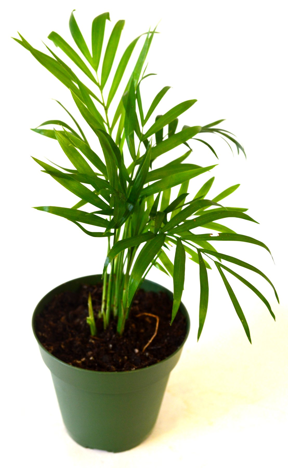 9GreenBox - Victorian Parlor Palm - Chamaedorea - 4'' Pot