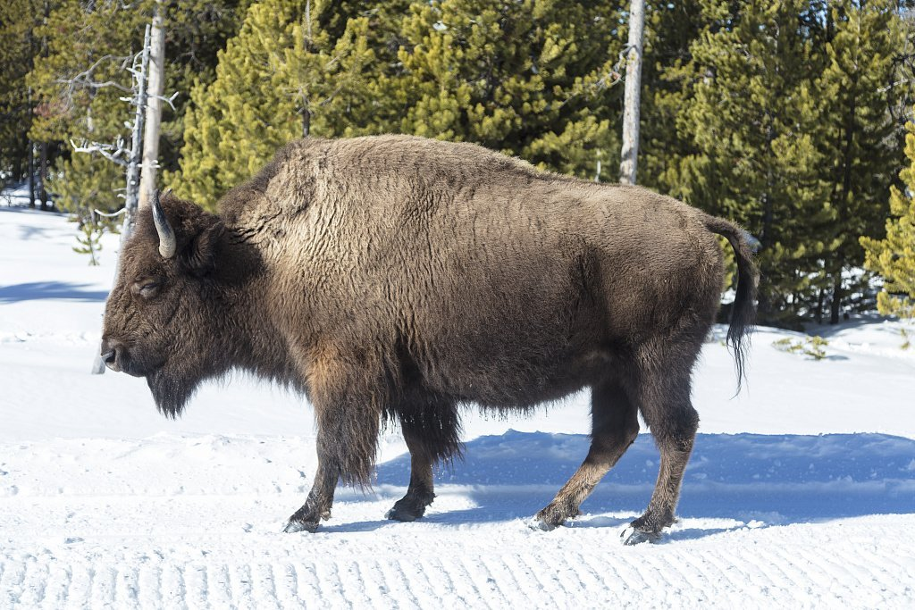 Photograph| As the World Wildlife Fund points out, American bison, or buffaloes 3 Fine Art Photo Reproduction 66in x 44in