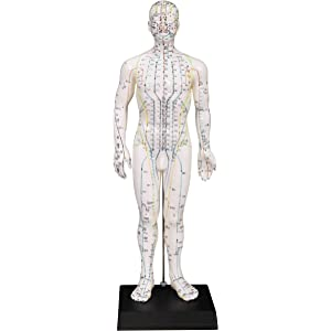 Amazon com : Male Acupuncture Model 20