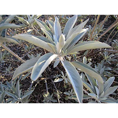 Pinky's Seed Company - 50+ White Sage Seeds - Salvia apiana : Garden & Outdoor