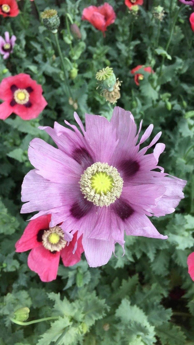 1000 Seeds Poppy Garden Mix