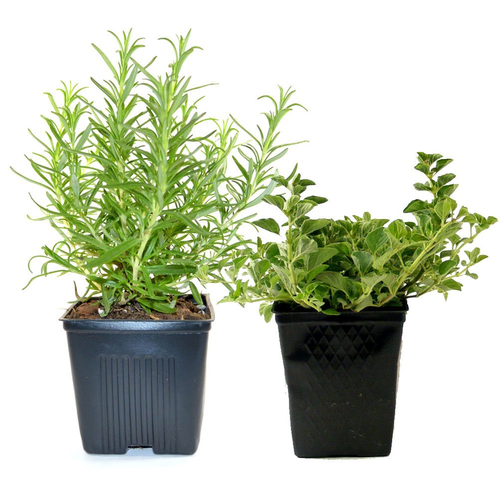 Live Rosemary and Oregano Plant - Set of 2 Hardy Herb Plants Grown Organic Non-GMO USA Great Container Herbs Shipped Potted by Stargazer Perennials