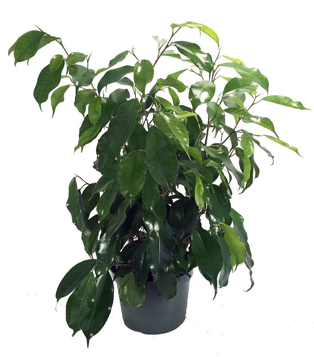 Live Ficus Benjamina Plant Fit 1 Quart Pot - Premium Foliage Houseplant - Easy to Grow