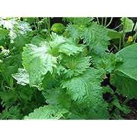 Potseed Las Semillas de germinación: 100 Verde SHISO