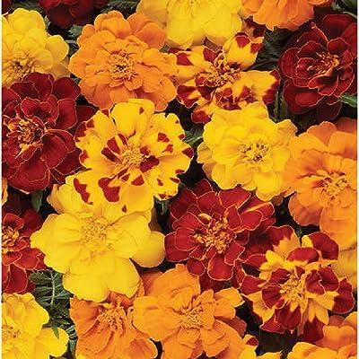 David's Garden Seeds Flower Marigold Durango Outback Mix SL4820 (Multi) 50 Non-GMO, Open Pollinated Seeds : Garden & Outdoor