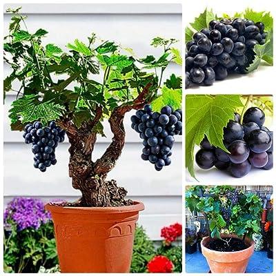 HAVIPRO - Dwarf Sweet Grape Seeds for Planting - 50 Pcs Seeds - Non GMO - High Germination - DIY Bonsai Home Garden Yard Decor Seed (Dwarf Grape) : Garden & Outdoor