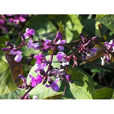 Hyacinth Purple Hyacinth Bean Vine 10 Seeds! GroCo : Garden & Outdoor
