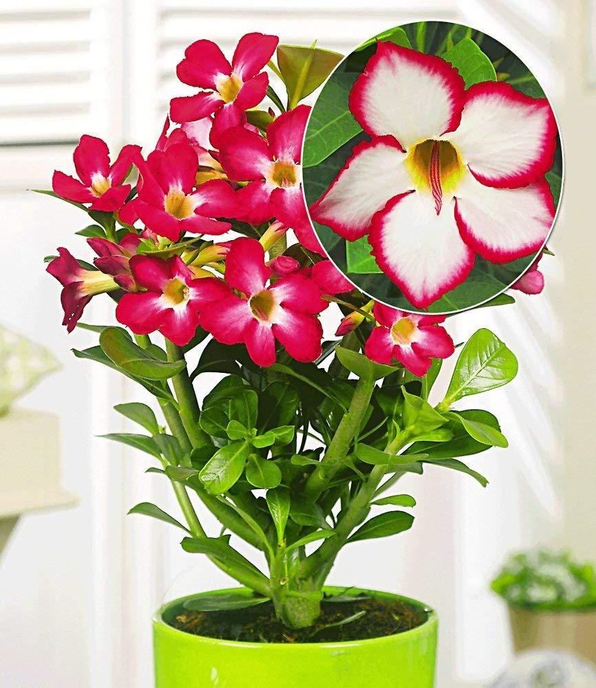 Baldur Garten Wüstenrose Noble Concubine 1 Pflanze Adenium Obesum