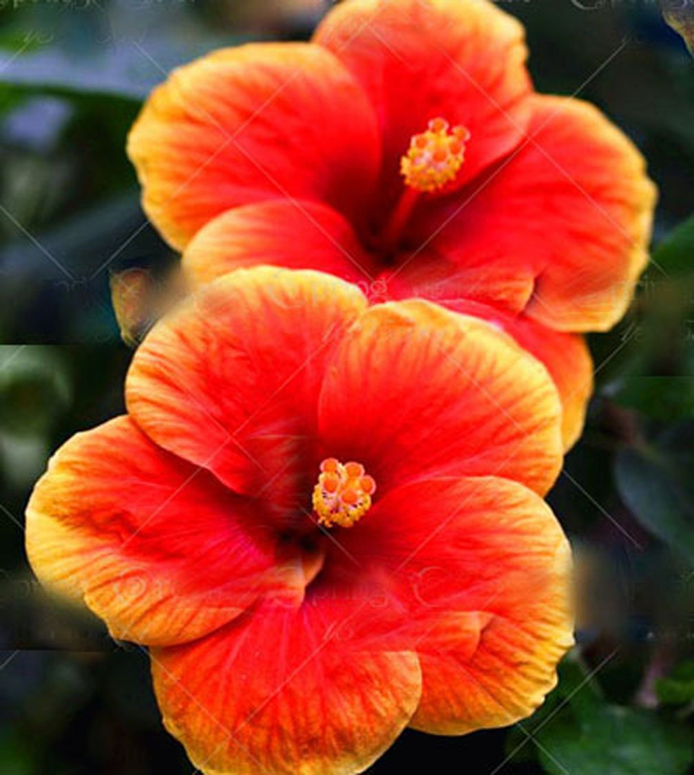 Amazon 11 11 100pcsbag giant hibiscus flower seeds chinese amazon 11 11 100pcsbag giant hibiscus flower seeds chinese cheap flower hibiscus seeds bonsai tree best gift for your kids easy grow f garden izmirmasajfo