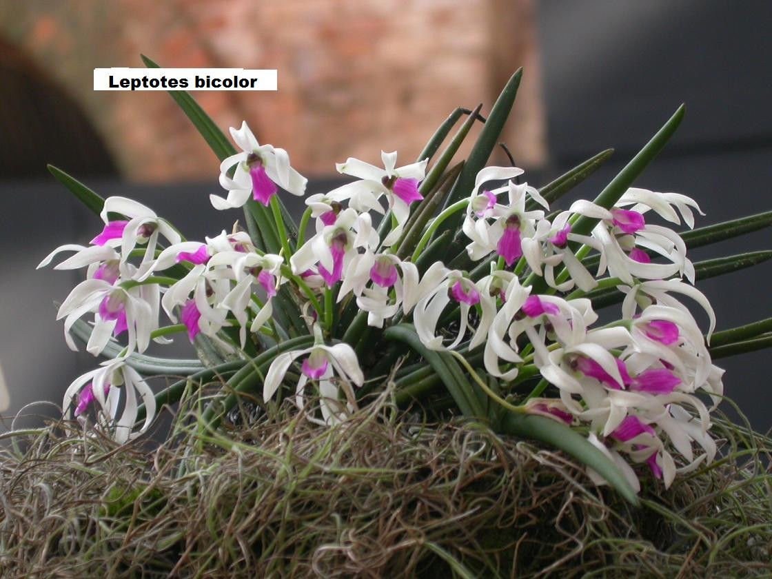 Leptotes bicolor! Mini Species! Blooming Size! Interesting Cute Orchid Plant