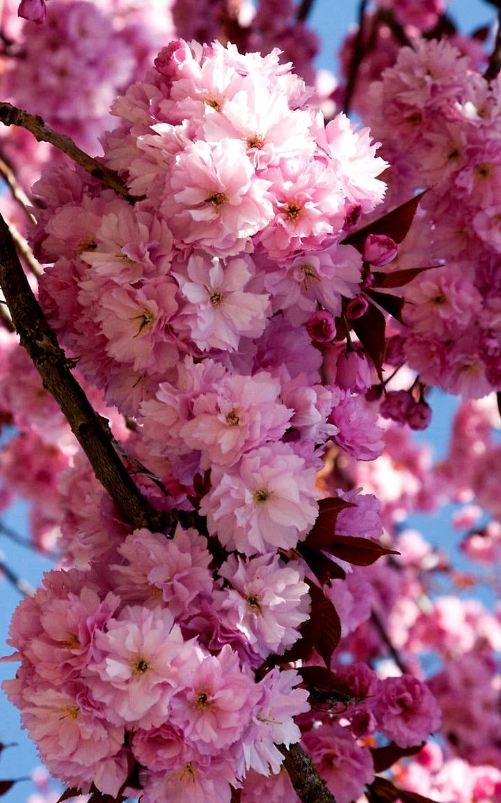 KWANZAN Cherry Tree - Double Flowers 2 - Year Live Tree by Japanese Maples and Evergreens (Image #4)