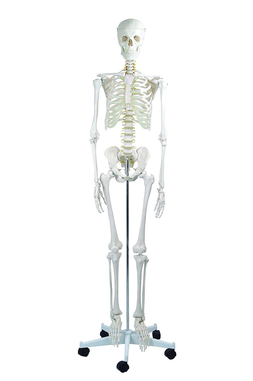 愛用 全身骨格模型 標準型 IK10 等身大 B008CMYM20 IK10 人体模型 人体模型 B008CMYM20, 中種子町:44072cf8 --- a0267596.xsph.ru