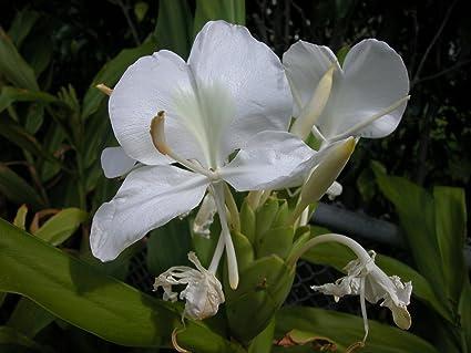 Amazon fragant butterfly bush white ginger cuban natl fragant butterfly bush white ginger cuban natl flower ginger root mightylinksfo