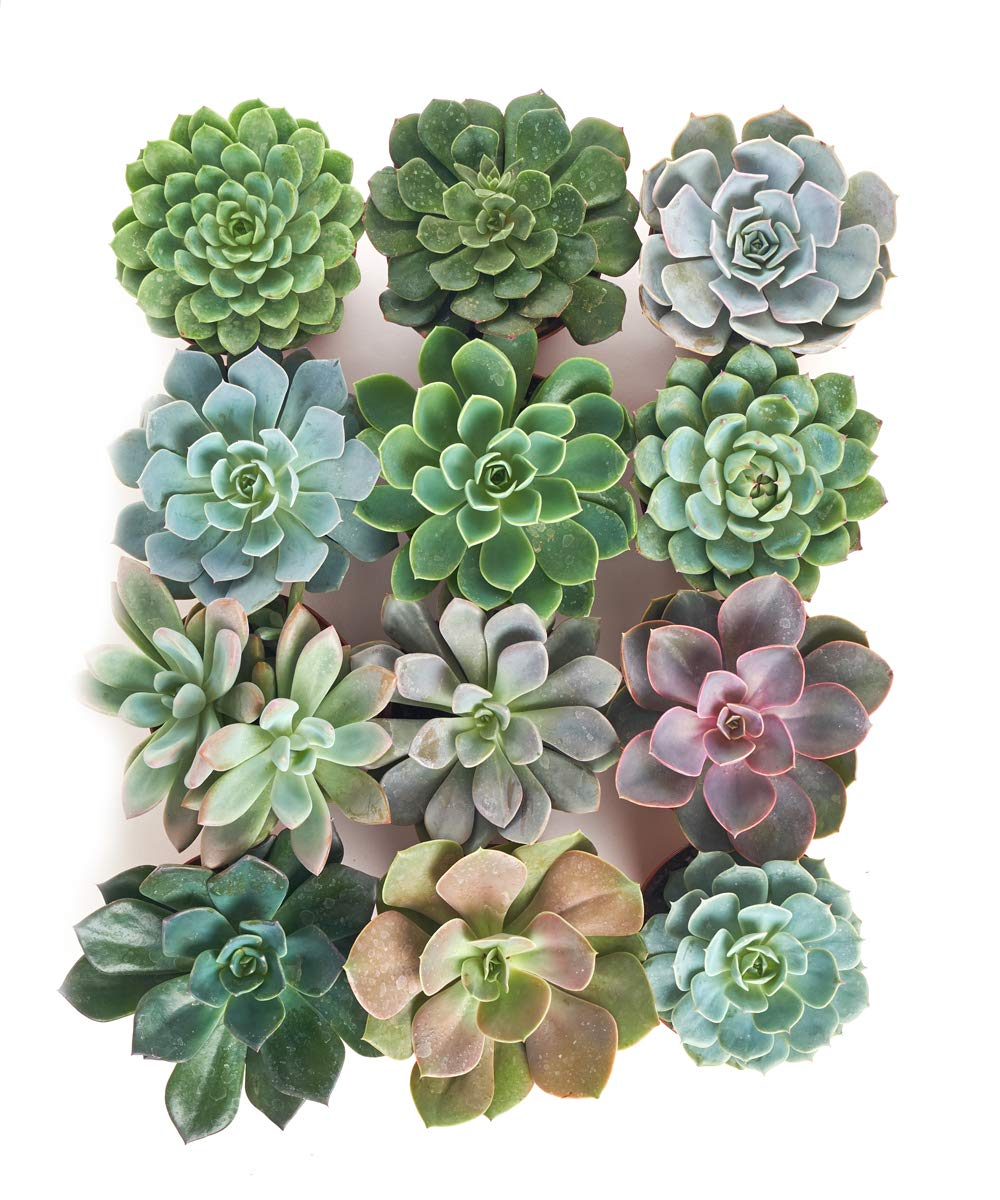 Shop Succulents | Radiant Rosette Live Plants, Hand Selected Variety Pack of Succulents | | Collection of 12 in 4'' pots, Pack of 12