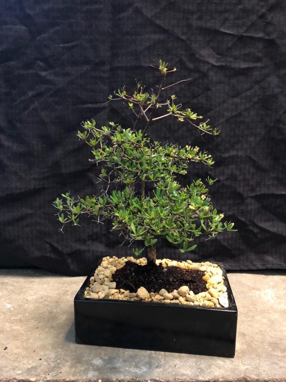 Amazon Com Indoorbonsaiexotics Dwarf Black Olive Bonsai Tree Garden Outdoor