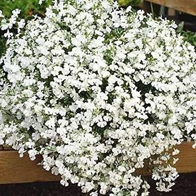 600 Pcs Lobelia Fountain White Nice Garden Flower Fragrant Plant 600 Seeds Flores in Bonsai DIY Home Garden : Garden & Outdoor