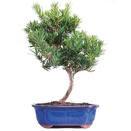 Awe Inspiring Amazon Com Brussels Live Podocarpus Micro Phyllus Outdoor Bonsai Wiring Digital Resources Honesemecshebarightsorg
