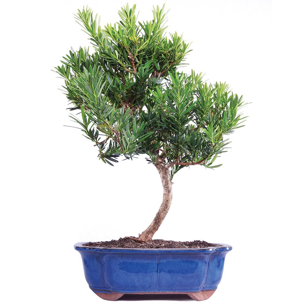 Brussel's Live Podocarpus Micro Phyllus Outdoor Bonsai Tree - 10 Years Old; 10'' to 14'' Tall with Decorative Container