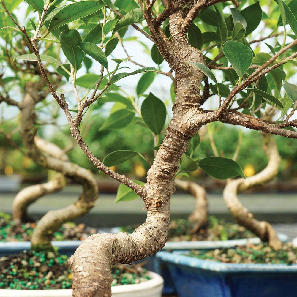 Brussel's Bonsai Live Golden Gate Ficus Indoor Bonsai Tree - 4 Years Old; 5'' to 8'' Tall with with Decorative Container, Small, by Brussel's Bonsai (Image #2)