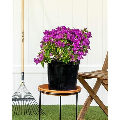 PlantVine Bougainvillea 'New River', Purple Bougainvillea - Large, Trellis - 8-10 Inch Pot (3 Gallon), Live Plant : Garden & Outdoor